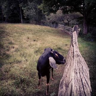 Hoot Goat